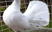 Сколько стоит голубь: цены на все виды