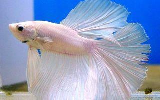 Сколько стоит рыба петушок?