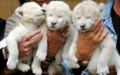 Сколько стоит лев: цена и известные факты