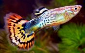 Сколько стоит рыбка гуппи?