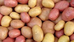 Сколько стоит картошка: все о цене за 1 килограмм, мешок или ведро