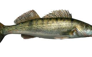 Сколько стоит рыба судак?