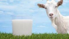 Сколько стоит козье молоко 1 литр: цена на домашнее и магазинное