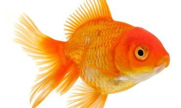 Сколько стоит золотая рыбка?