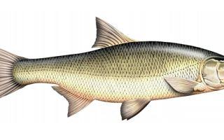 Сколько стоит рыба жерех?