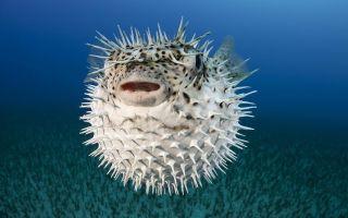 Сколько стоит рыба фугу?