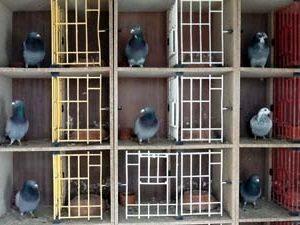 Сколько стоят голуби