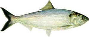 килограмм рыбы стоимость