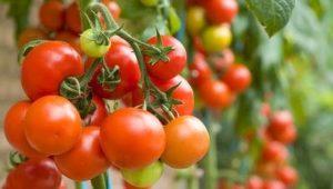 томат цена