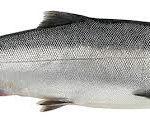 Сколько стоит рыба кижуч