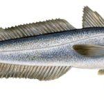 Сколько стоит хек рыба?