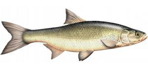 сколько стоит рыба жерех