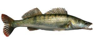 Сколько стоит рыба судак