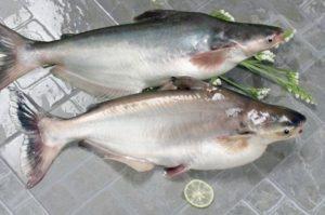 ледяная рыба стоимость