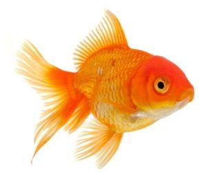 Сколько стоит золотая рыбка