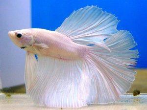 Сколько стоит рыба петушок