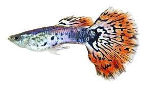Сколько стоит рыбка гуппи