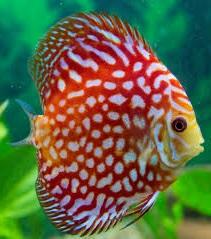 Сколько стоит рыбка дискус