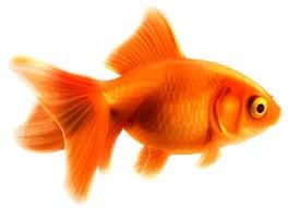 золотая рыба стоимость