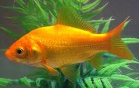 золотая рыбка цена