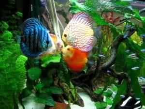 рыба дискус цена