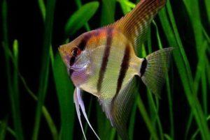рыба скалярия стоимость
